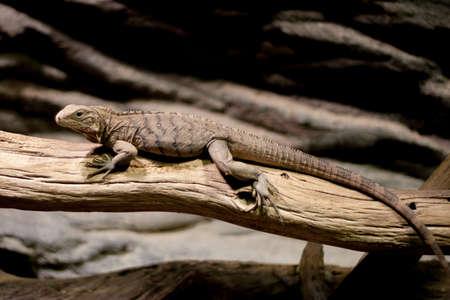 A Lizard Crawling on a Branch