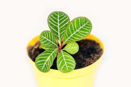 Young Plant Euphorbia Leuconeura - Studio Shot of Leaves Detail Stock Photo