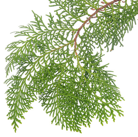 Branch of green conifer leaves isolated on white background