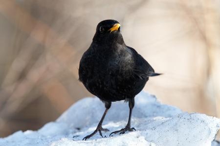 Blackbird on snowdrift Stock Photo - 9161366