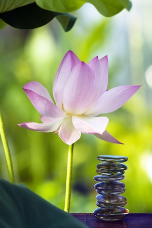 Lotus in habitat and spa stones Stock Photo