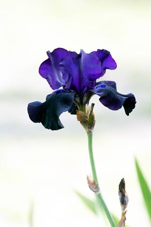 Beautiful violet iris on nice background