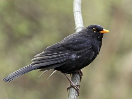 Blackbird portrait on branch Stock Photo
