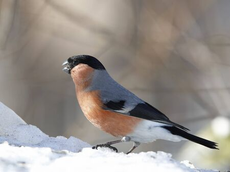 Bullfinch male sitting on spring snow