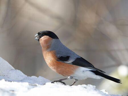 Bullfinch male sitting on spring snow
