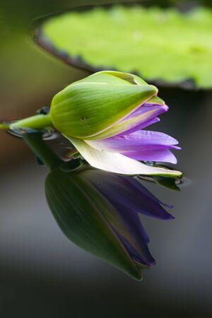 Water lily - beginning of flowering