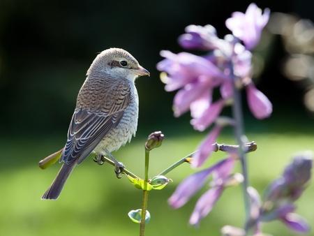 Sentimental shrike flower-lover