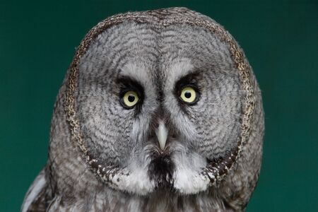 Great Grey Owl looking ahead