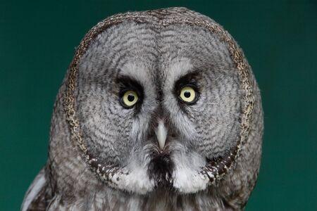 Great Grey Owl looking ahead