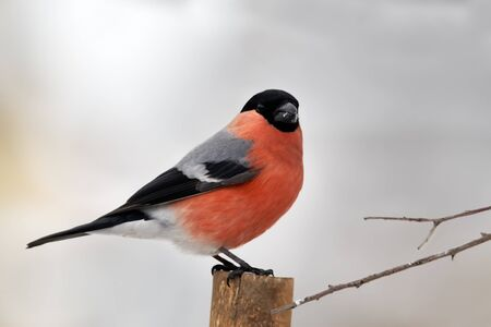 Eurasian bullfinch sitting on stack