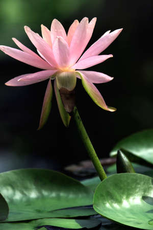 Pink waterlily in pond