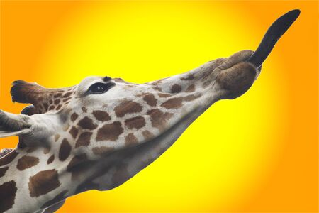 Giraffe with his tongue at hottes time photo