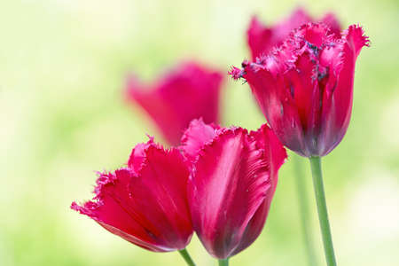Red tulips on flowerbed photo