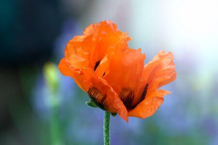 Poppy bud flowers in garden