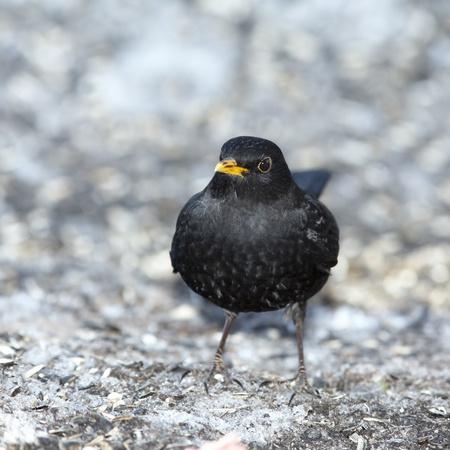 Blackbird male looking ahead Stock Photo