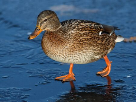 Mallard female on first ice at lake photo