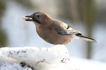 Jay with sausage in beak sitting on snow photo