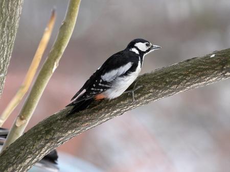 looking ahead: Woodpecker on branch looking ahead