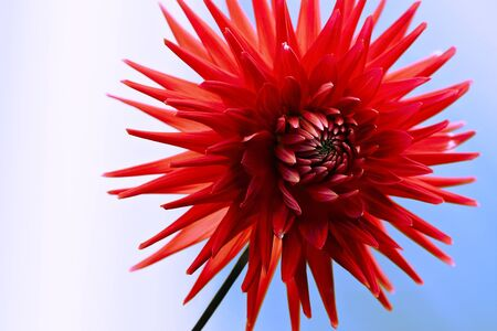 Red Dahlia on sky background