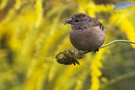 chaffinch: Fringilla coelebs femmina giovane su fiore nel giardino Archivio Fotografico