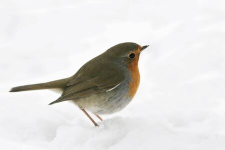Robin standing on snow and looking ahead