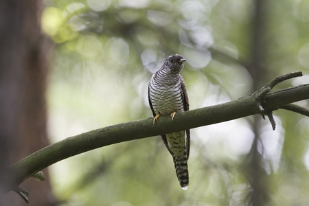 Cuckoo on branch in forest photo