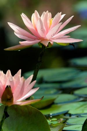 Lotus portrait Stock Photo
