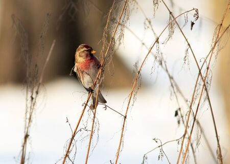 Common Redpoll on rush branch