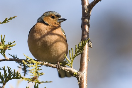 bask: Chaffinch male bask in sun and  meeting spring