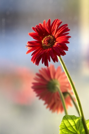 Gerbera flowers and reflected in window Stock Photo
