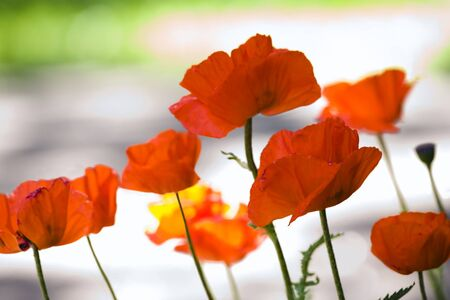 Red poppies little family