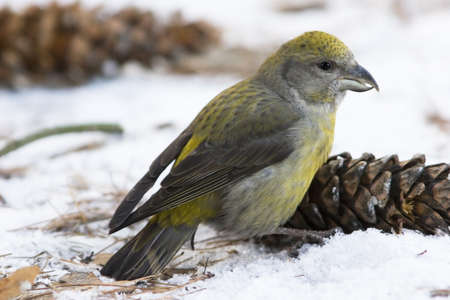 bumps: Crossbill searching seeks in bumps Stock Photo