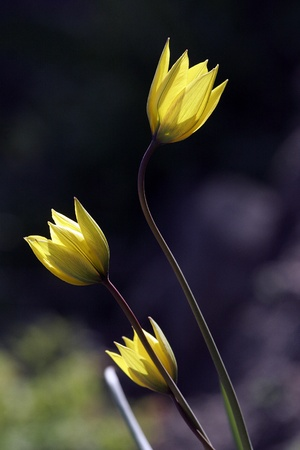 Stems and buds-three yellow wild tulips