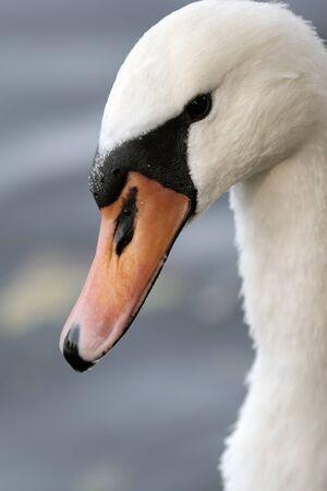 glance: Swans glance