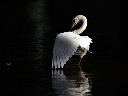 Dancing swan Stock Photo - 9265597