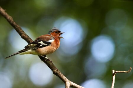 Singing chaffinch male