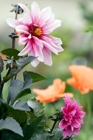 Dahlia bush on flowerbed Stock Photo