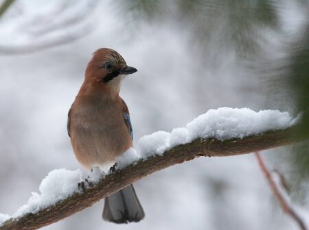 looking ahead: Jay looking ahead on winter branch Stock Photo