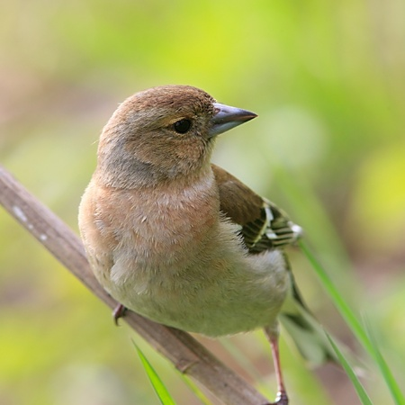 Young chaffinch female posing on branch