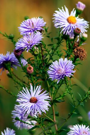 Asters bush flowers