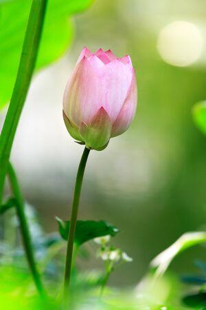 Lotus flowering in habitat Stock Photo - 9327613
