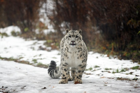 Snow leopard looking ahead photo
