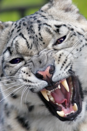 Snow leopard growling on camera - portrait close up photo