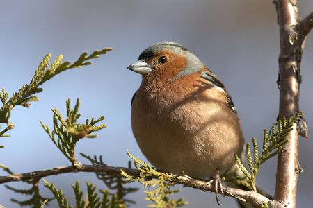 Chaffinch male sitting at spring branch photo