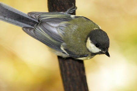 Great tit sitting on branch in interesting pose Stock Photo