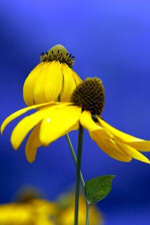 daises: Yellow garden daises on blue background Stock Photo