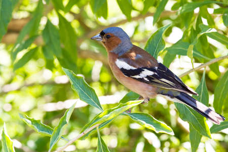 Chaffinch in leaves posing