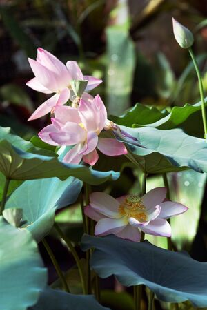 Lotuses in jungle photo