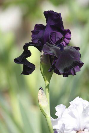 Beautiful bearded violet iris flower Stock Photo - 9376396