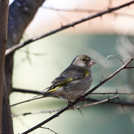 greenfinch: Greenfinch young female sitting on branch